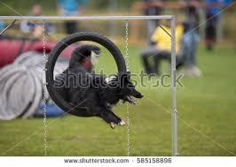 australian shepherd agility dog doing tricks stock images royalty free images u0026 vectors