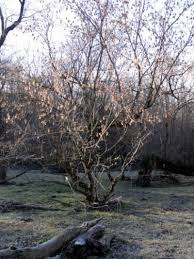 how to identify box elder trees and seeds college of veterinary