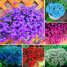 online get cheap flower lobelia aliexpress com alibaba group