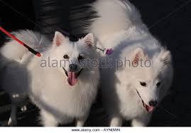 american eskimo dog in india american eskimo dog stock photos u0026 american eskimo dog stock