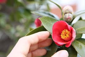 camellia flowers free images blossom leaf petal travel botany flora