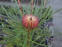 australian native plants for rock gardens video and photos australian native nursery page 3 of 7 growers of australian