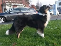 australian shepherd 1 jahr gewicht größe und gewicht eurer aussies australian shepherd aussie de
