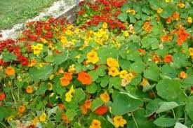 nasturtium flowers more about flowers that help to keep the bugs away