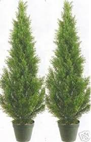 two 5 foot 4 inch artificial cypress spiral trees