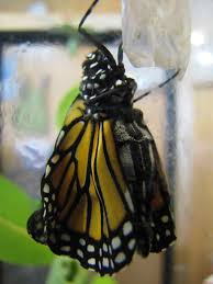 file a monarch emerging from cocoon 6017672587 jpg wikimedia