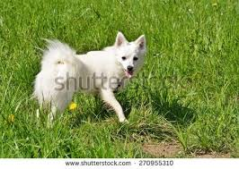how big is american eskimo dog eskimo dog stock images royalty free images u0026 vectors shutterstock