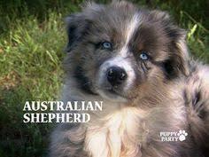 australian shepherd meme australian shepherd smart working dog miniature australian