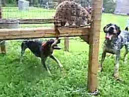 bluetick coonhound rabbit hunting coon hunting blueticks barking at a cage coon youtube