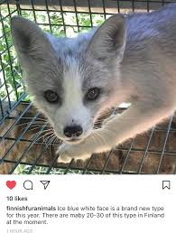 new red fox color morph topics on exotic domestic farm and
