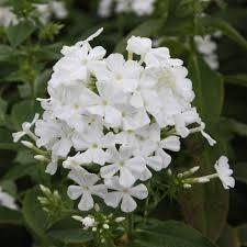phlox flower buy border phlox syn fujiyama phlox paniculata mount fuji