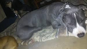 american pitbull terrier heat cycle mala u0027s 1st time in heat u2026 u2013 iheartdogs com
