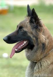 belgian malinois dog belgian malinois dogs pets cute and docile