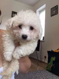 poodle x bichon frise bichon frise puppy u0027s for sale in harrow london gumtree