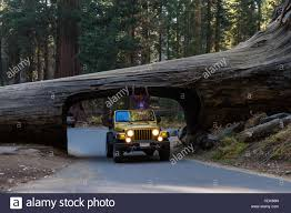 jeep gold sequoia np california november 14 gold jeep going thru a
