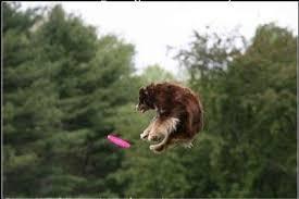 australian shepherd lovers disc dog