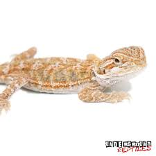 baby citrus bearded dragons sale underground reptiles