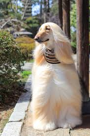 afghan hound trainability 119 best hound images on pinterest afghans afghan hound and animals