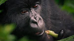 Gorilla by Mountain Gorilla