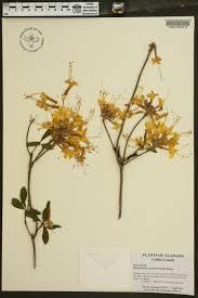 native plants of alabama rhododendron austrinum species page apa alabama plant atlas