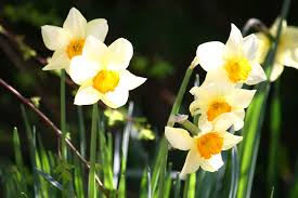 free images flower botany yellow flora bulbs daffodils