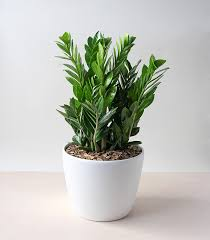 Plant Delivery Zz Plant Container Plant Delivery Winston Flowers