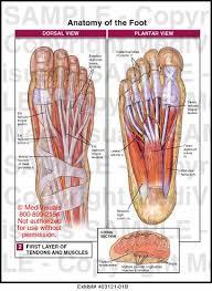 Foot Tendons Anatomy The Bottom Of Foot Anatomy Bottom Foot Tendons Human Anatomy Charts