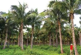 wholesale palm trees wholesale bamboo palmco fort myers pine