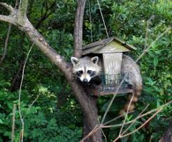 raccoons and birdfeeders the humane society of the united states