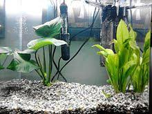 Live Plants In Community Aquariums by Aquarium Wikipedia