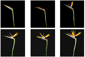 bird of paradise flower bird of paradise cycle proflowers