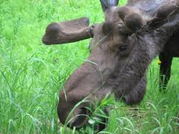 file bull moose close up feeding on fireweed jpg wikimedia commons