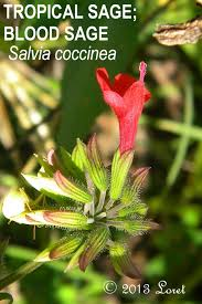 native sage plants what florida native plant is blooming today daily photo of