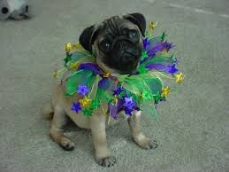 mardi gras dog happy mardi gras got these adorable dogs do at
