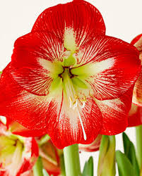 amaryllis flower easy and amaryllis displays midwest living