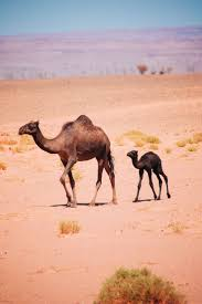 camels in morocco baby camel camels and deserts
