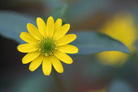 Yellow Flower - free photo garden macro plant flowers flower bloom blossom max pixel
