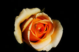 bouquet de fleurs roses blanches images gratuites la nature fleur noir et blanc la