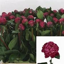 peonies wholesale 22 best triangle nursery wholesale flowers peonies images on
