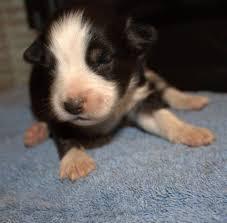american eskimo dog breeders sugarpaws toy and mini aussie and eskies american eskimo dog
