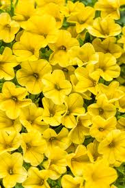 yellow flowers superbells yellow calibrachoa hybrid proven winners
