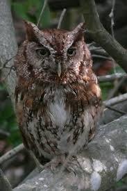 Florida Backyard Birds - florida suncoast birding eastern screech owl at sanibel lighthouse