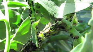 Plants That Repel Aphids by Aphids On Fava Beans Attract Beneficial Insects Youtube
