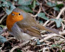 male or female robins wildlife questions wildlife the rspb