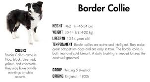 Border Collie Meme - border collie memes google search border collies pinterest
