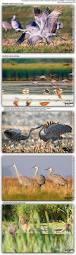 sandhill crane grus canadensis