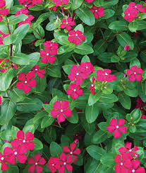 vinca flowers merry go vinca seeds and plants annual flowers at