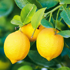 When Does A Lemon Tree Produce Fruit - citrus trees for sale fast growing trees com