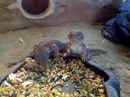 99 best lizards images on pinterest lizards reptiles and amphibians