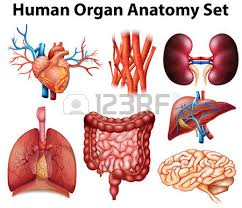 Human Anatomy Liver And Kidneys Human Kidney Stock Photos Royalty Free Human Kidney Images And